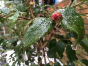 Closeup of ice beginning to layer on this budding camellia